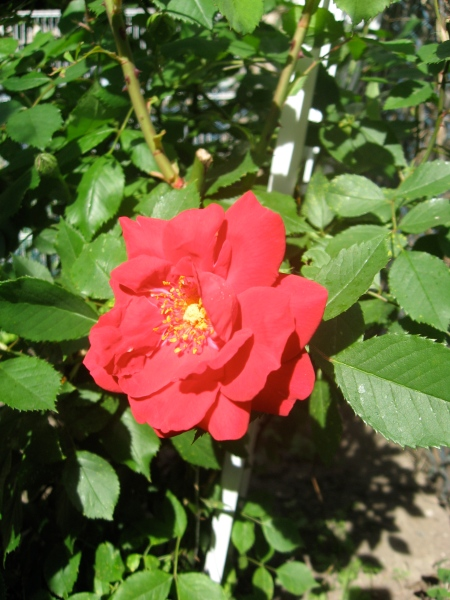 The first rose of 2009.
