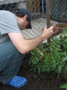 Fixing the tomato stake