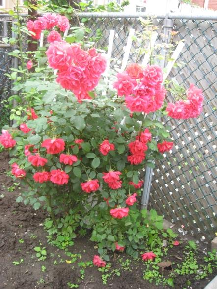 July 1st Rosebush... so beautiful!