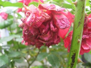 A sad looking wilted rose.
