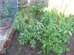 Tomato plants, thriving.